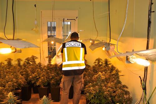 Policía Nacional desarticulación plantación de marihuana indoor