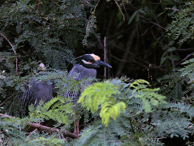 Yellow-crowned Night-Heron pair 20170605