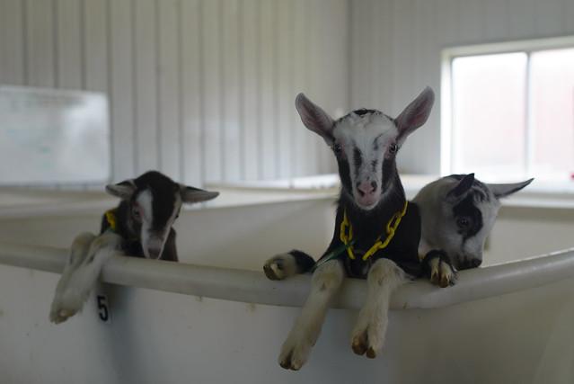 goat farm-29