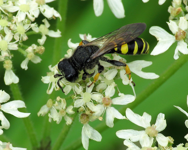 Slender Bodied Digger Wasp - Crabro cribrarius