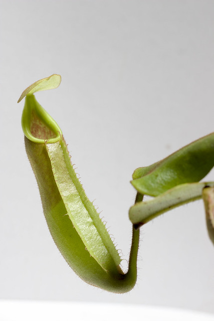 Nepenthes veitchii Hose Mts. MT