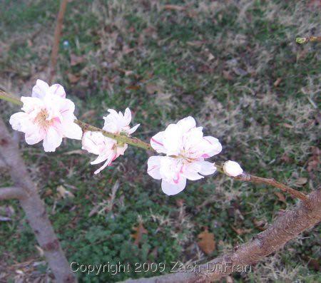 peach_blossom_2009