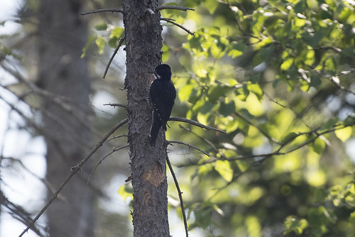 Adirondacks: Black-backed Woodpecker, Female