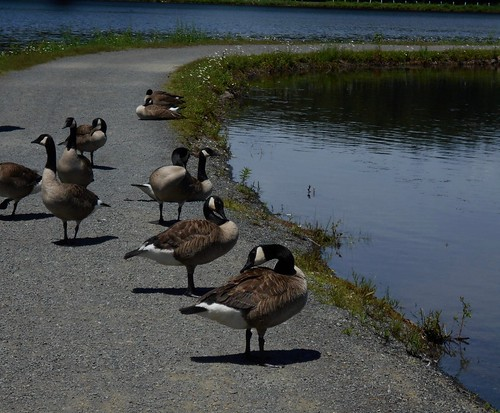 Canada geese looking right