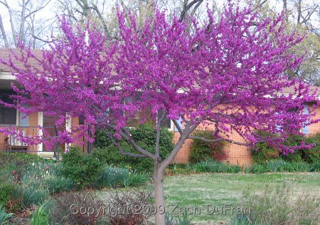 thick_trunk_redbud