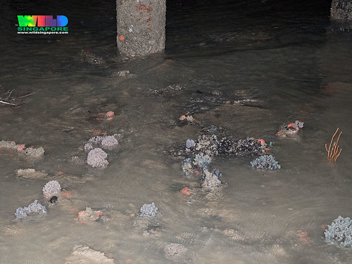 Various colourful sponges and marine life on the coral rubble area, Chek Jawa