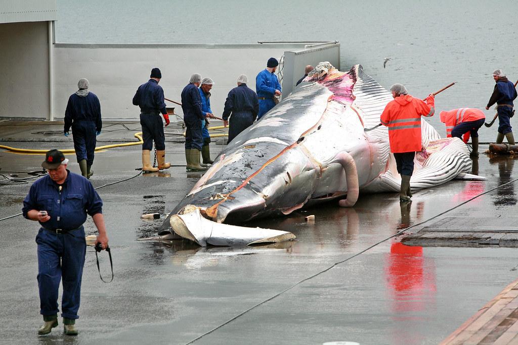 冰島的商業捕鯨。圖片取自:綠色和平組織。