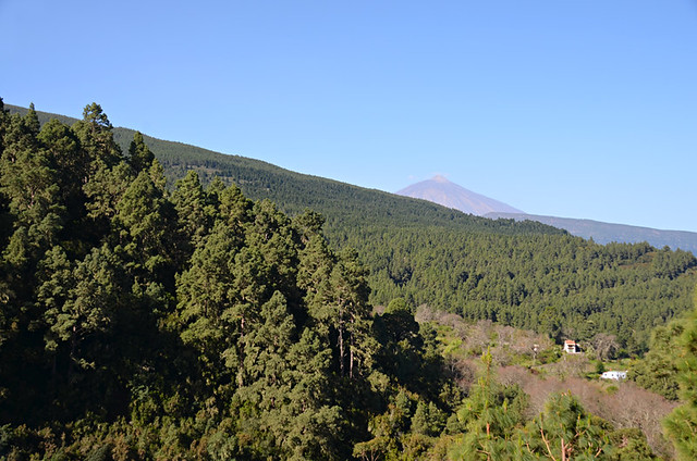 Pine forest, Orotava Valley, Tenerife