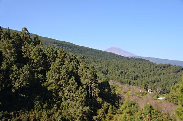 Pine forest, Orotava Valley, Tenerife