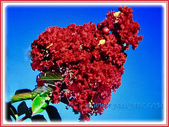 Wonderful conical panicles of Lagerstroemia (Crape Myrtle, Crepe Myrtle/Flower, Japanese/Indian Crape Myrtle) in dark red, 2 June 2017