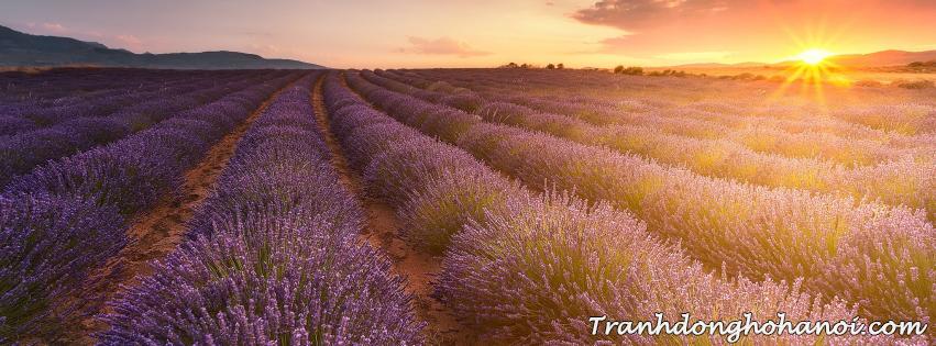 Hinh anh canh dong hoa lavender luc hoang hon lam anh bia facebook