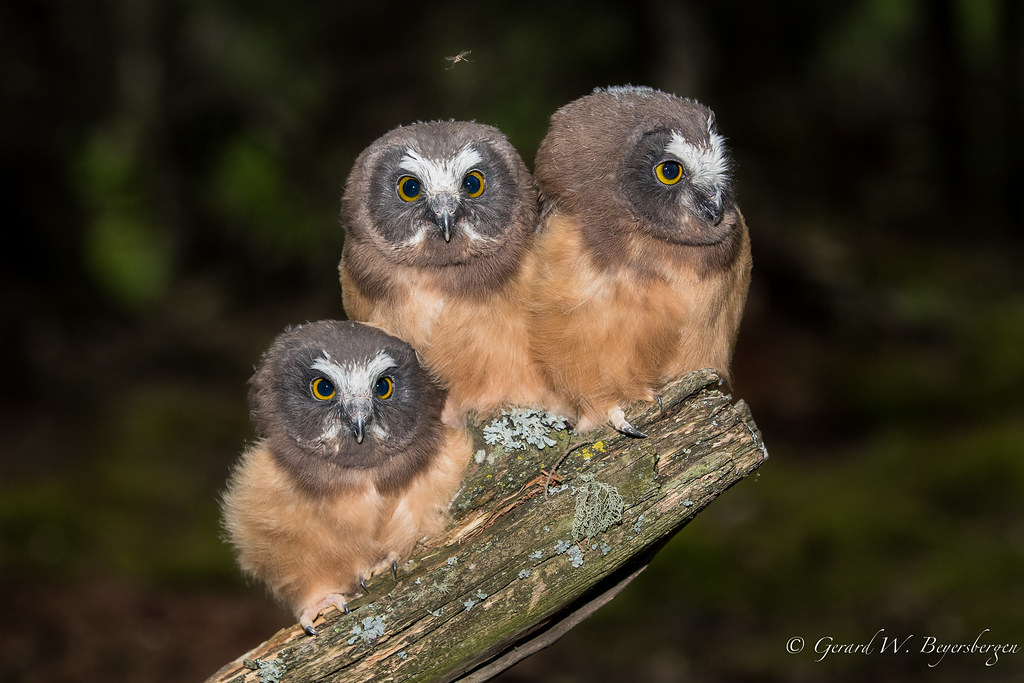 northern saw whet owl owlets northern saw whet owl aego flickr