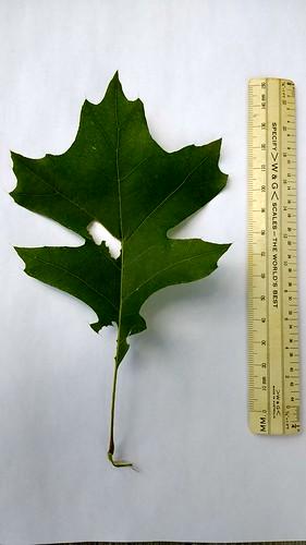 Quercus leaf