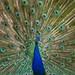 Hart Park Peacock