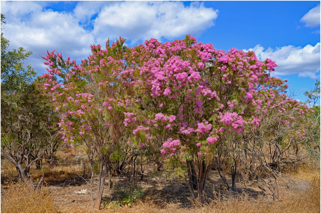 Turkey Bush Calytrix Exstipulata Dry Season Flowering