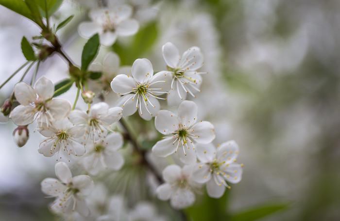 kukkiva kirsikka valkoinen