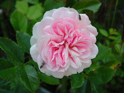 ces quelques fleurs de nos jardins 35063845375_f5251f86e5