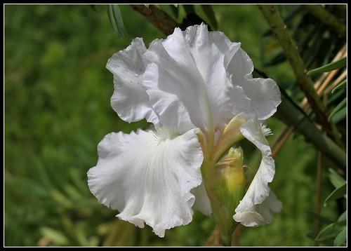 Iris 'Wedding Vow' - Ghio 1970 35114449405_e1a6c735a1