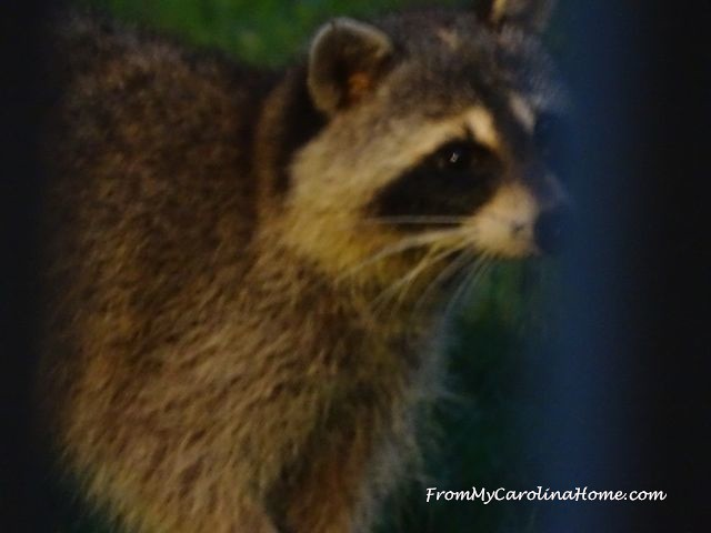 Raccoon visit at From My Carolina Home