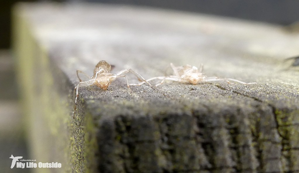 P1080736 - Damselfy larvae casings, Dinefwr