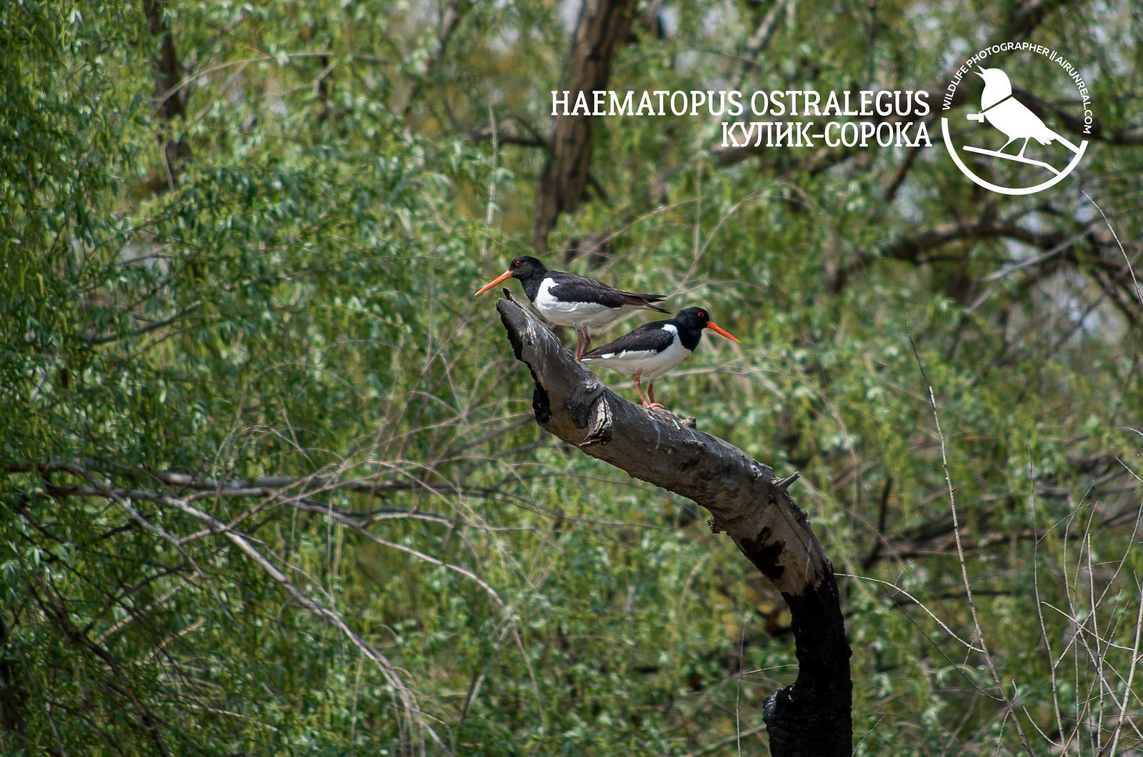 Haematopus ostralegus // 20170621