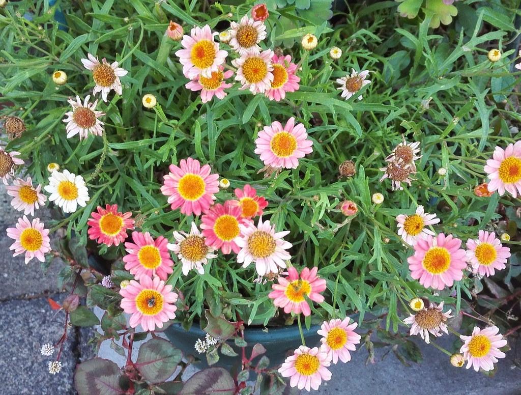 ガーベラ? 6月の花