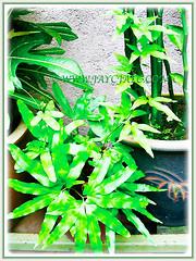 Lygodium japonicum (Japanese Climbing Fern, Climbing Fern, Vine-like Fern) vining up another plant, 11 Jan 2007