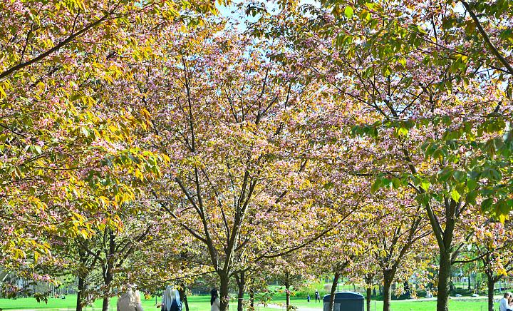 kirsikkapuisto3