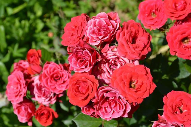 flower,rose, Roses