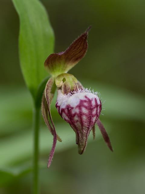 Ram's Head orchid