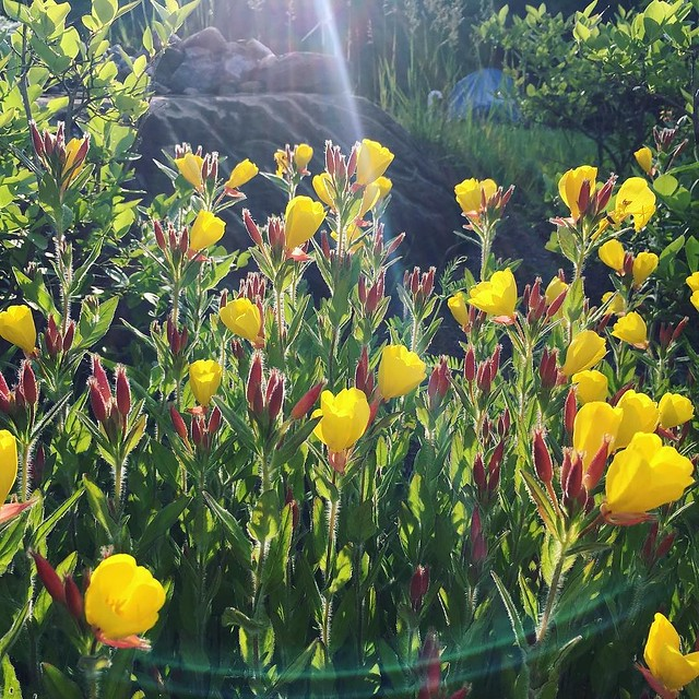 Evening primrose 'Fireworks'. I loving refer to it as Ketchup-Mustard Flower because the red buds pop open yellow.