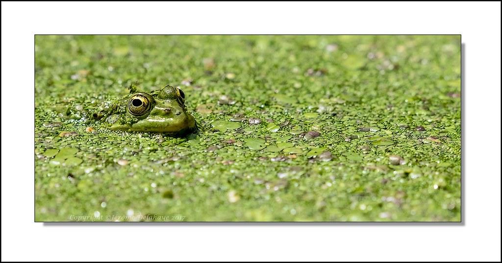 La grenouille 35364764285_8583b1e9a9_b
