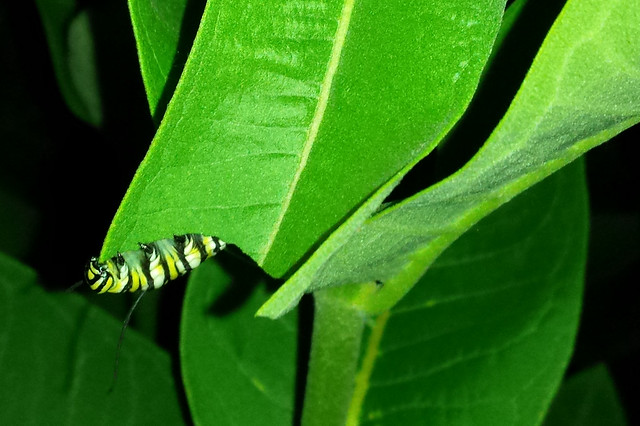 caterpillar underneath a leaf, holding on, with a sharp corner in its mouth
