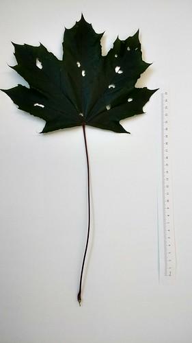 Acer platanoides leaf