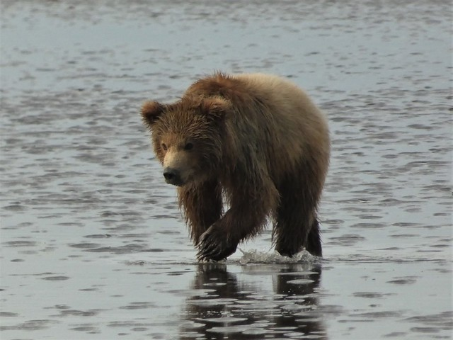 Osezno en una playa de Lake Clark (Alaska)