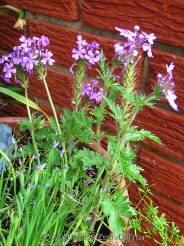 mid_purple