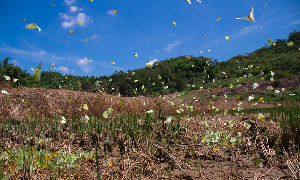 黃蝶翠谷裡面的黃蝶大發生時沿著河谷向遷徙形成壯觀的畫面_拍攝者連偉志