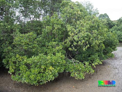 Changi Creek mangroves
