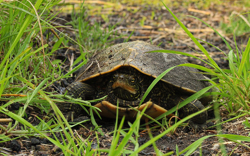 Map turtle (Graptemys geographica) laying eggs | by phl_with_a_camera1
