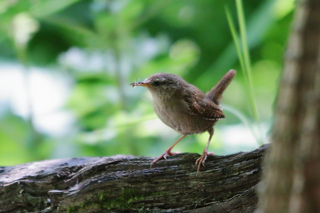 Wren with food
