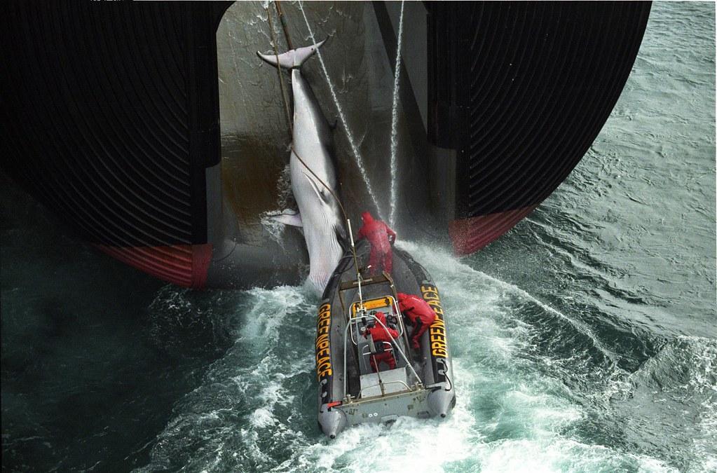 日本的科學捕鯨。圖片取自:綠色和平組織。