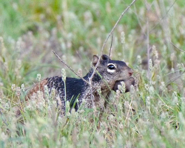 Rock Squirrel - 1