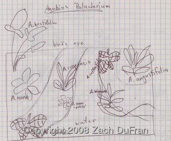 anubias_sketch