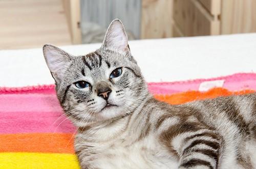 Tango, gato Siamés Tabby de colita corta esterilizado muy guapo, nacido en Enero´16, en adopción. Valencia. ADOPTADO. 35291803281_b13e968d26