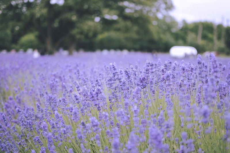 lavender dreams 14