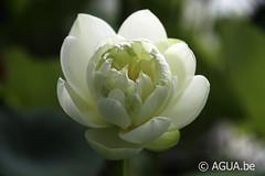 Nelumbo White Chrysanthemum