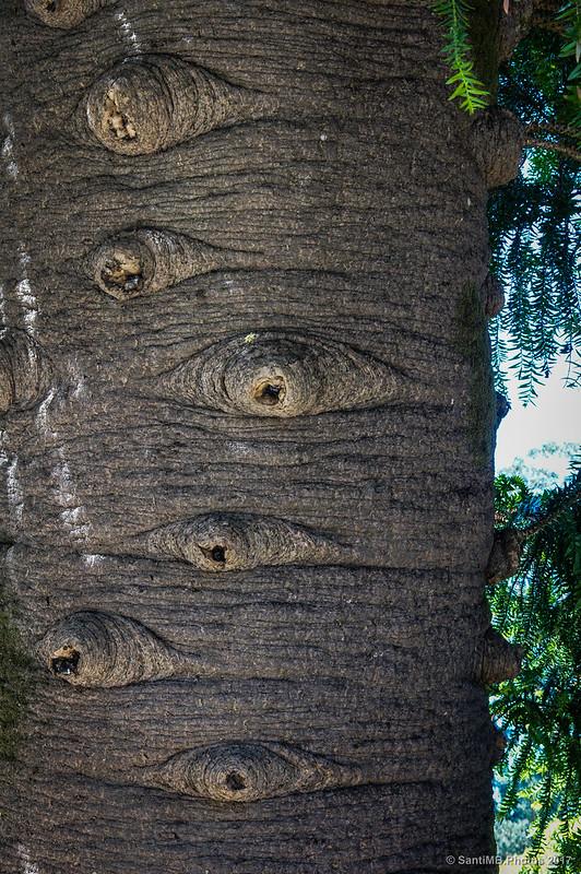 Detalle de la corteza de un árbol del jardín de Buçaco