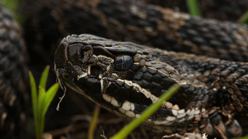 Massasauga (Sistrurus catenatus catenatus) macro | by phl_with_a_camera1