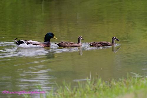 Mama & baby ducks