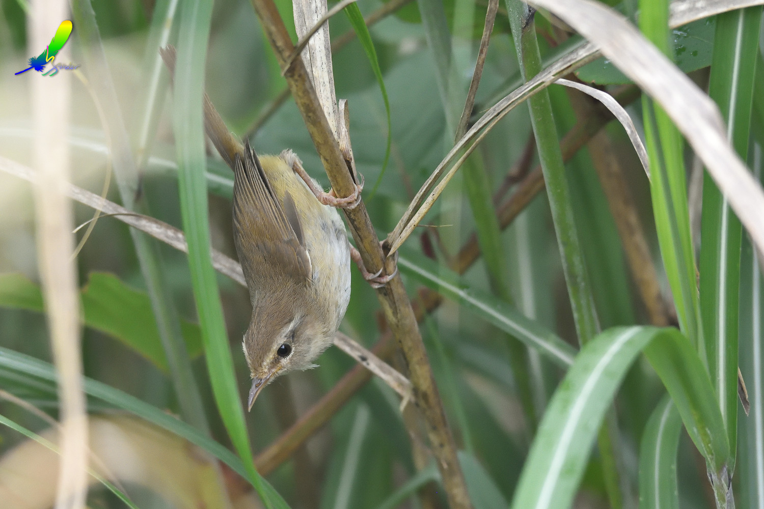 Strong-footed_Bush_Warbler_4174